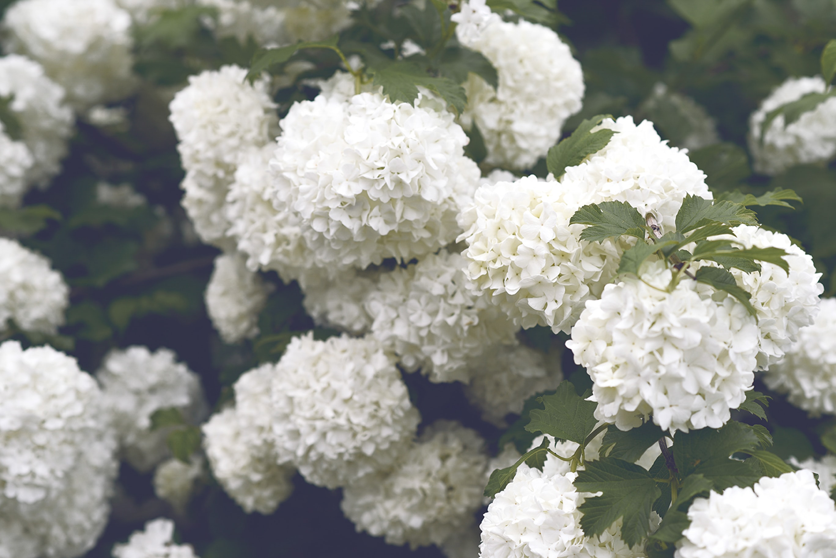 White hydrangea flowers in large clusters