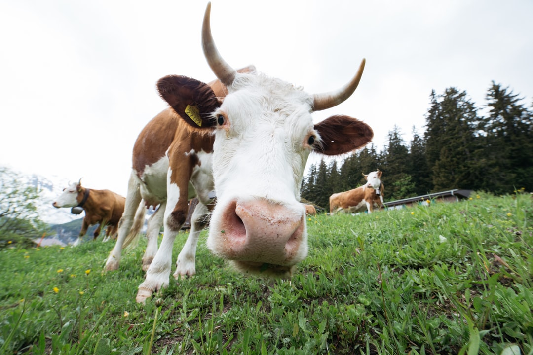 Came across some friendly grazers hiking up a trail in Switzerland.