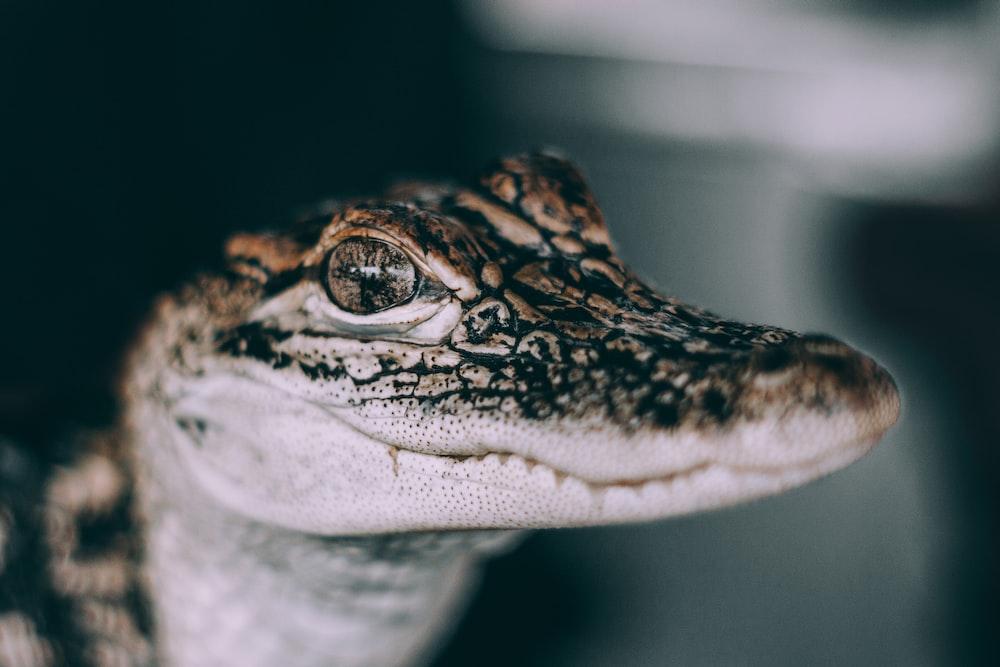 closeup photo of gray and black crocodile