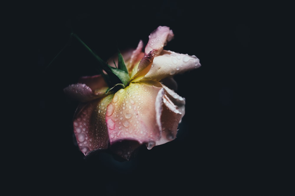 closeup photo of pink flower