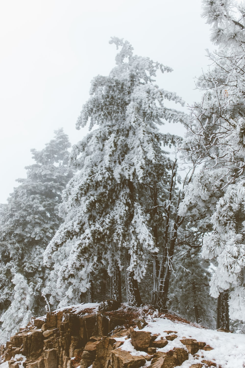 snow covered pine trees at daytime