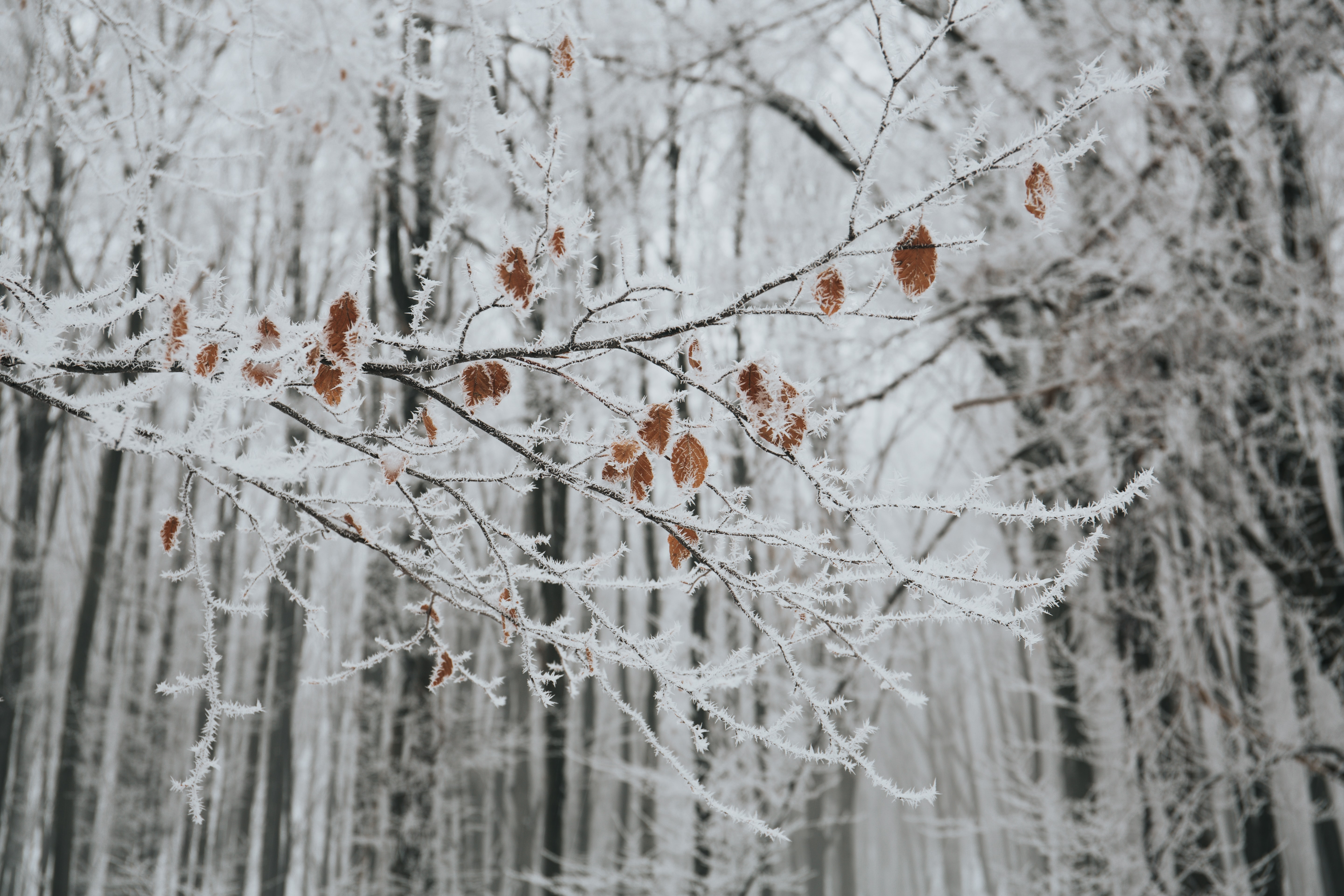 A few brown leaves hang on the branches of trees covered in winter frost
