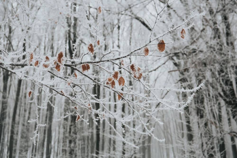 closeup photo of gray tree branch with leaves and snow