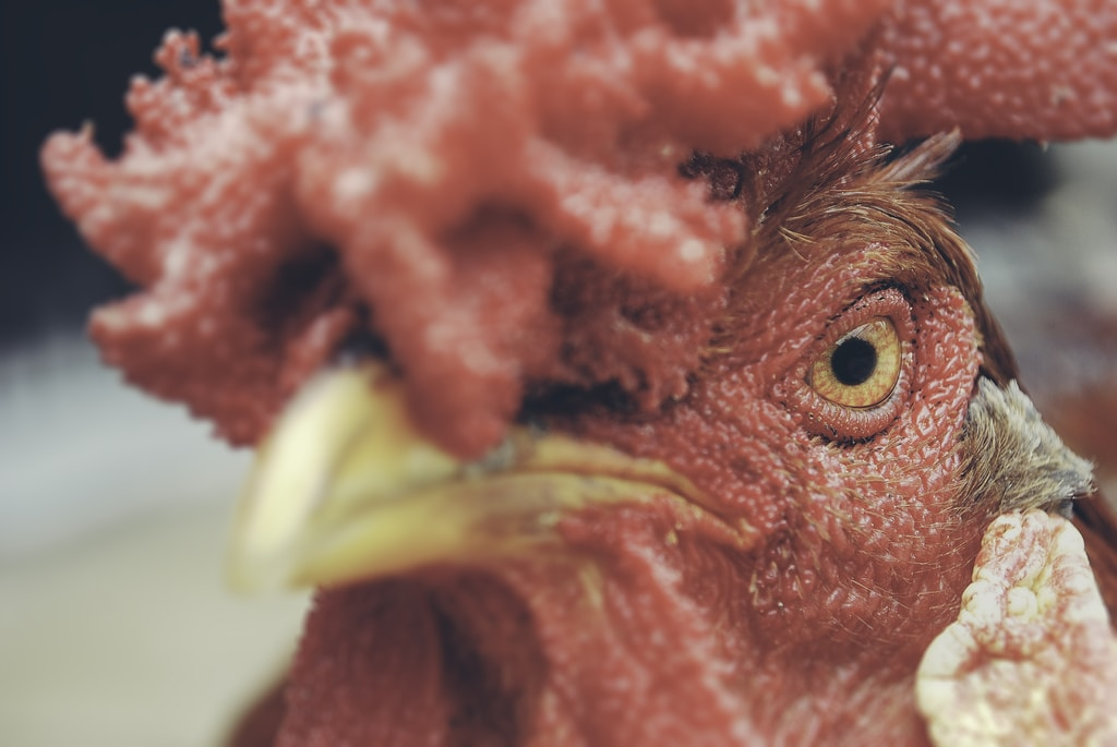 close up photography of rooster