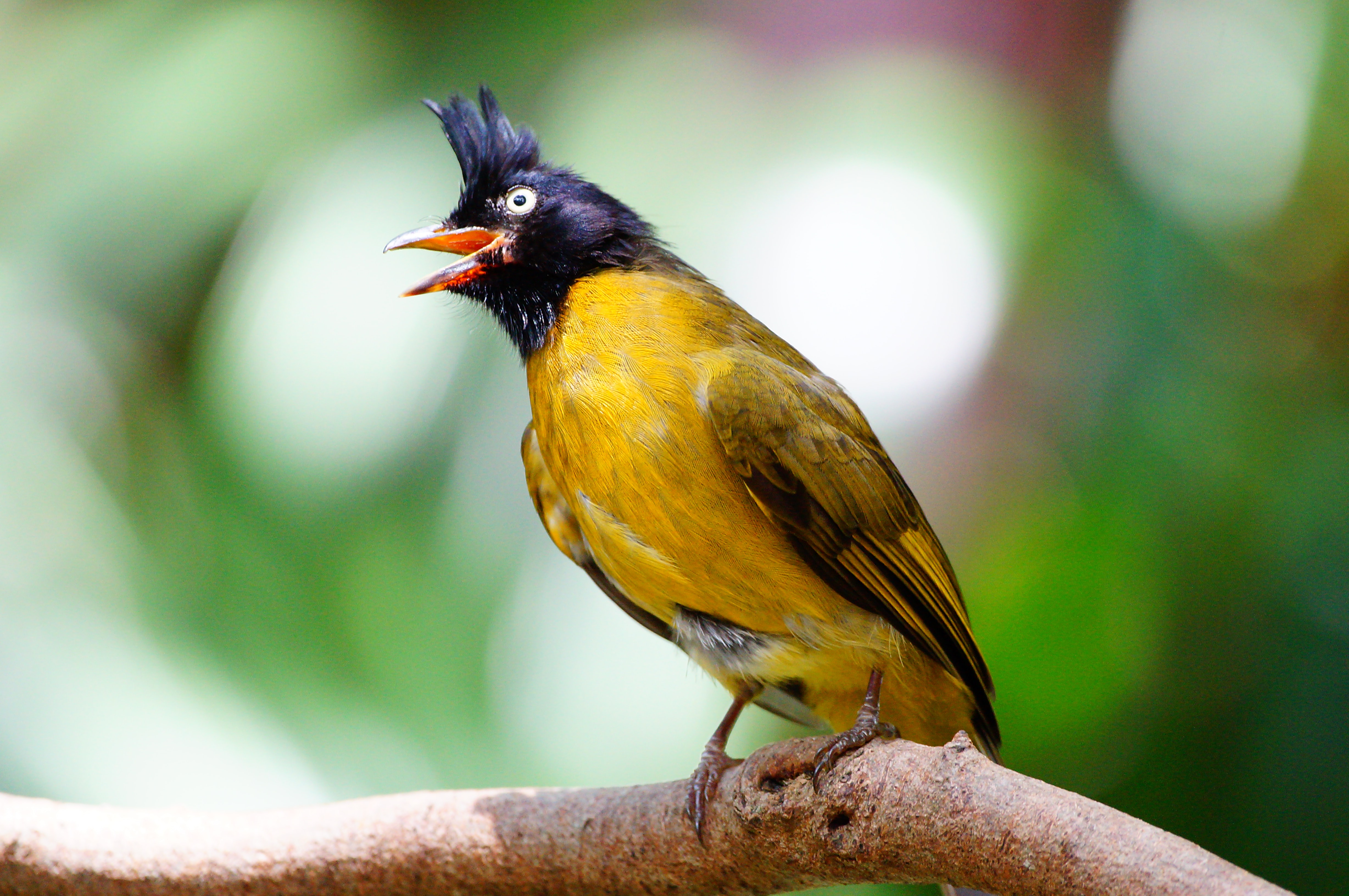 A black headed bird with a yellow belly and an open beak perched on a branch