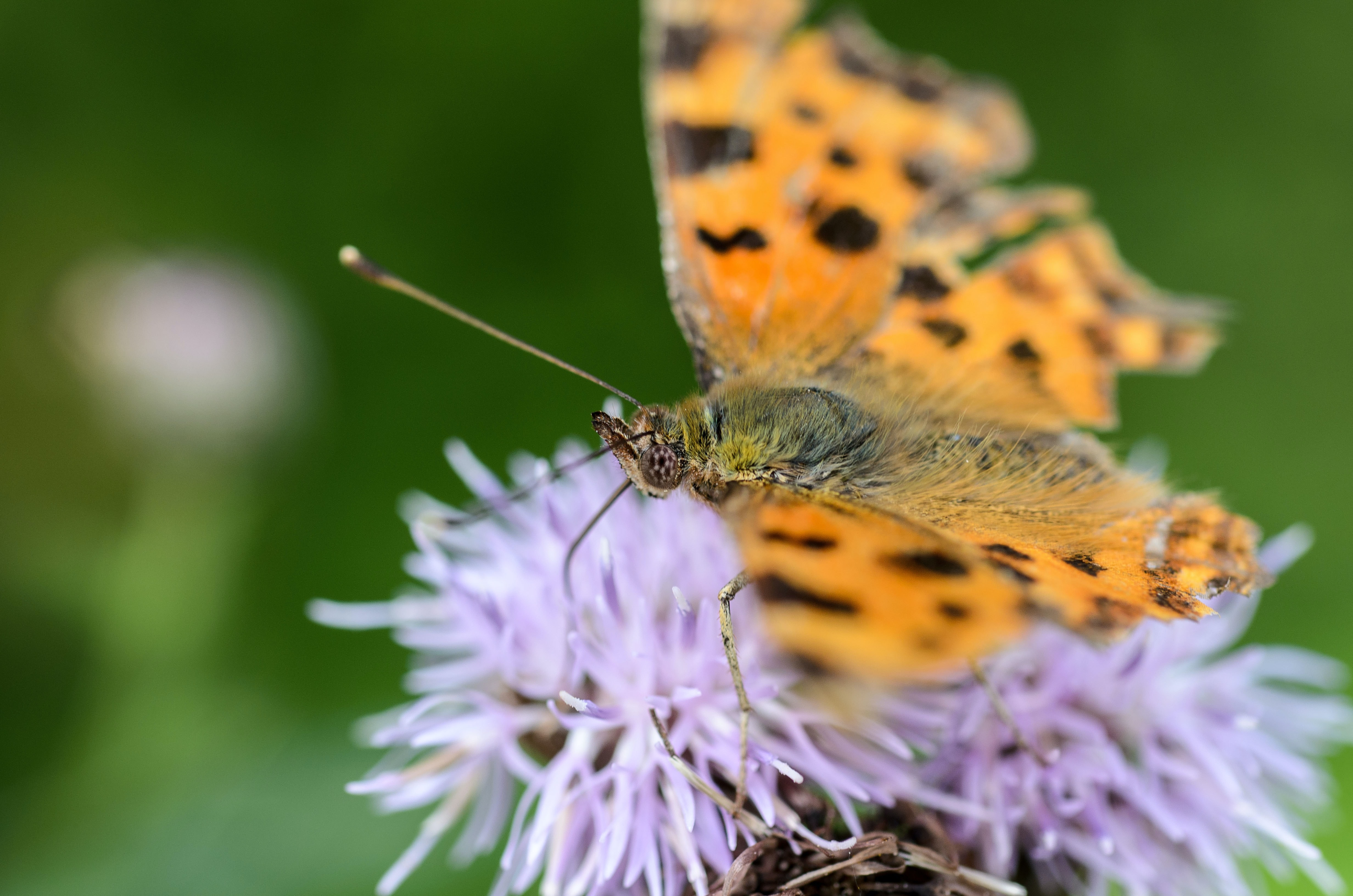 A macro shot of an orange butterfly on a violet flower