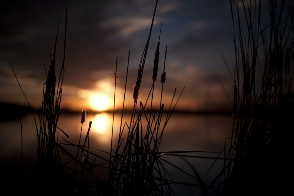 silhouette photo of plants near body of water during sunset