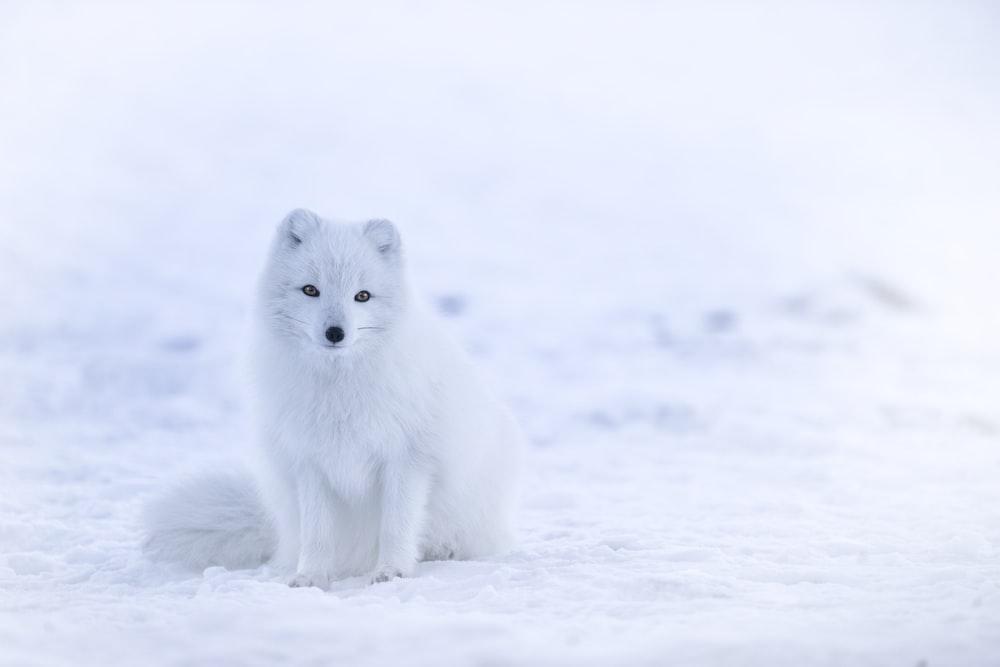 snow fox on snowfield