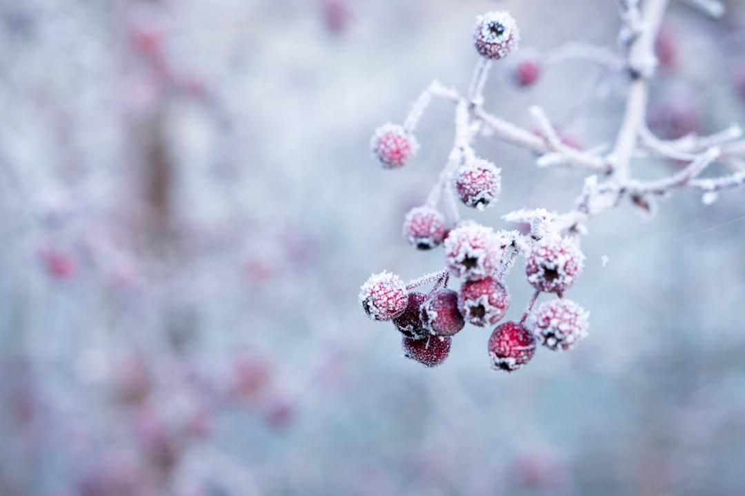 Frozen berries in the snow