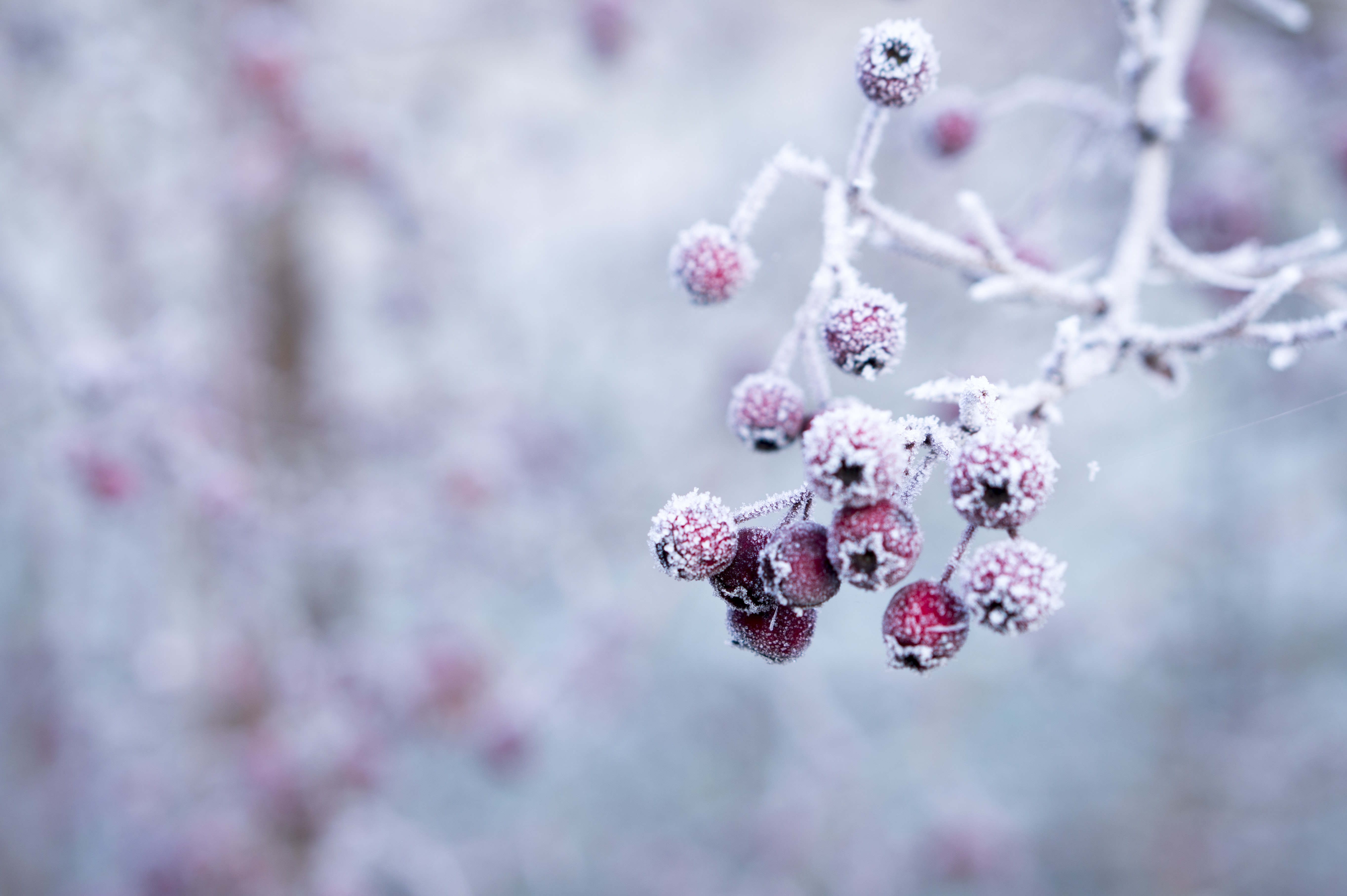 selective focus photo of frozen round red fruits