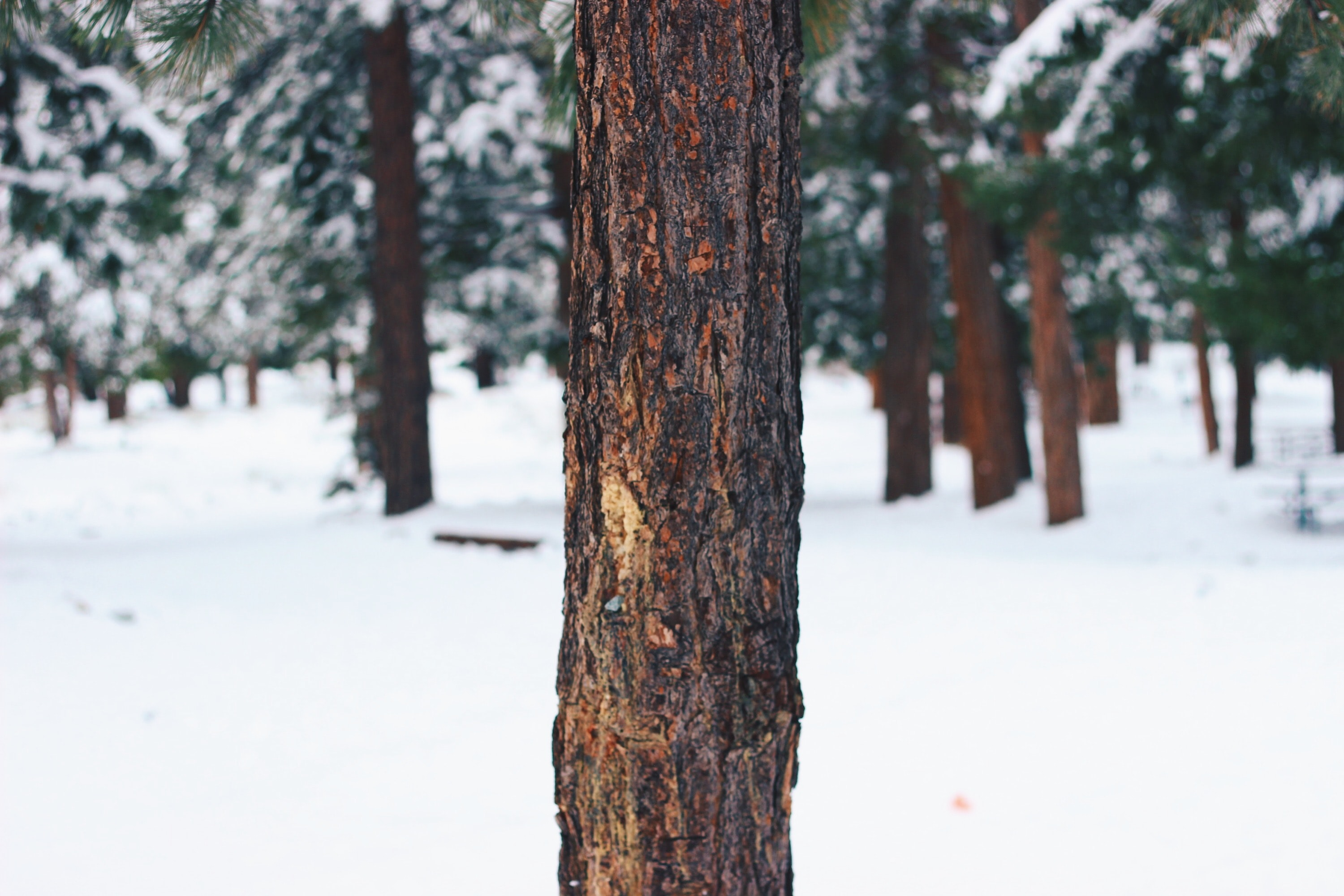 Close-up of the trunk of a conifer tree in a snow-covered forest