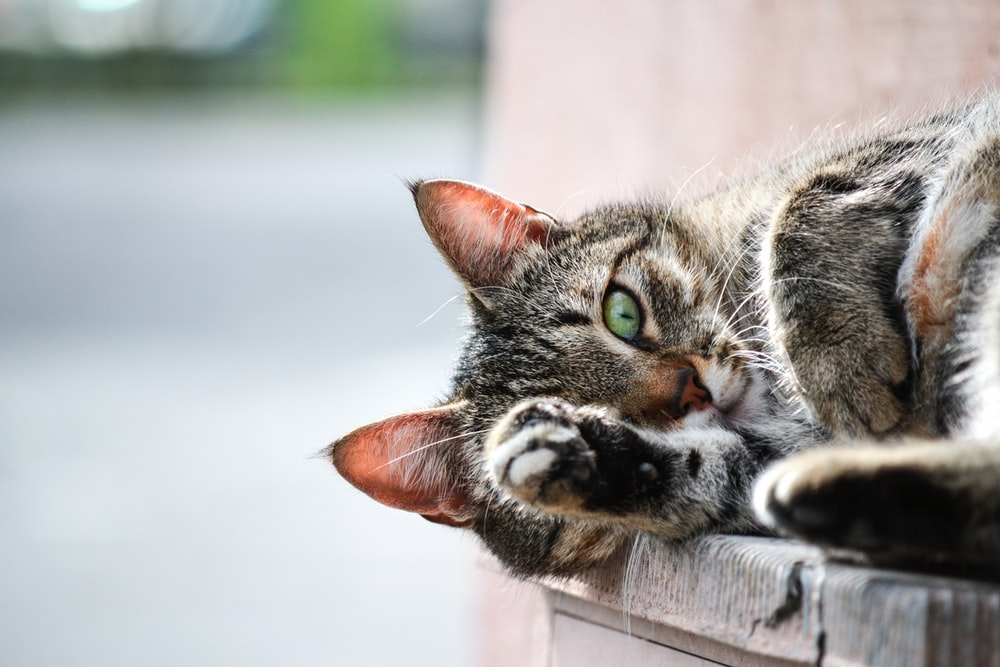 photo of brown tabby cat lying on brown wooden planks