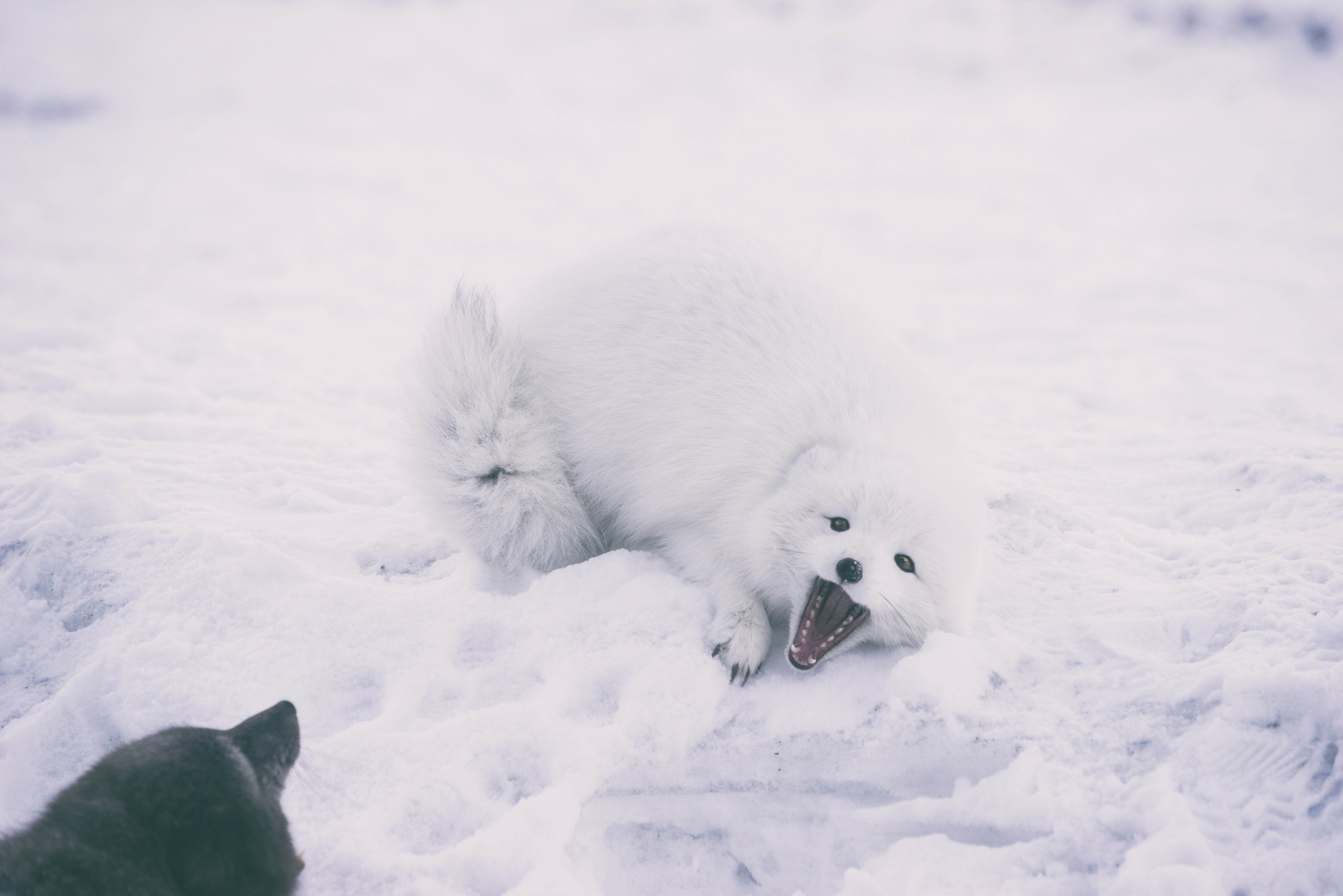long-coated white wolf at daytime