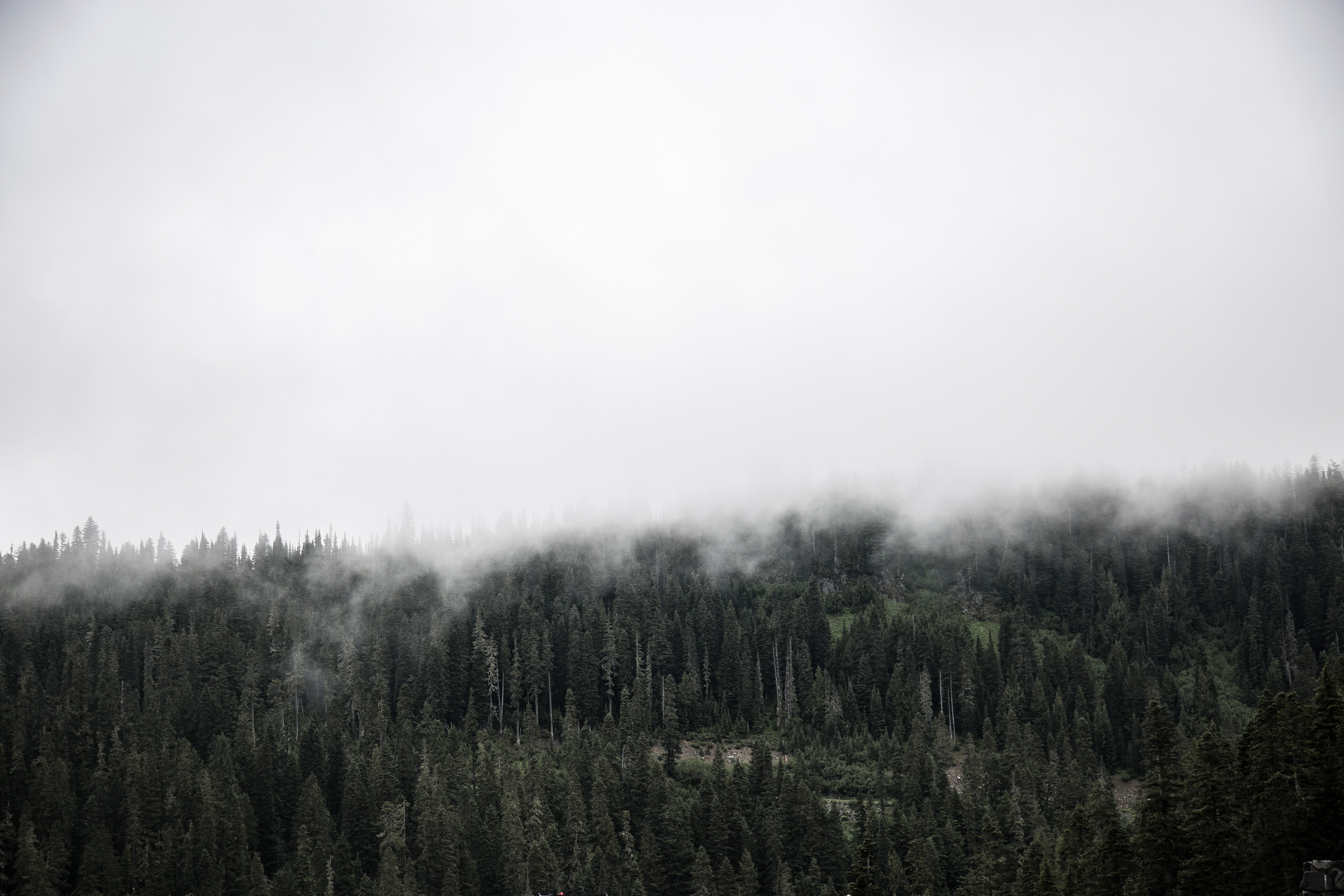 An evergreen forest in Canada enveloped in thick fog