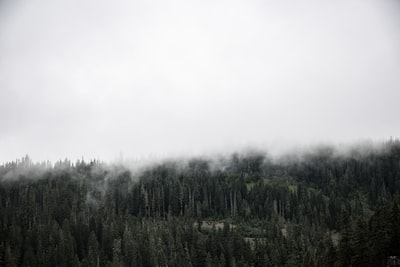 forest covered with fogs evergreen teams background