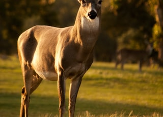 selective focus photography of brown deer standing on green grass field during daytime