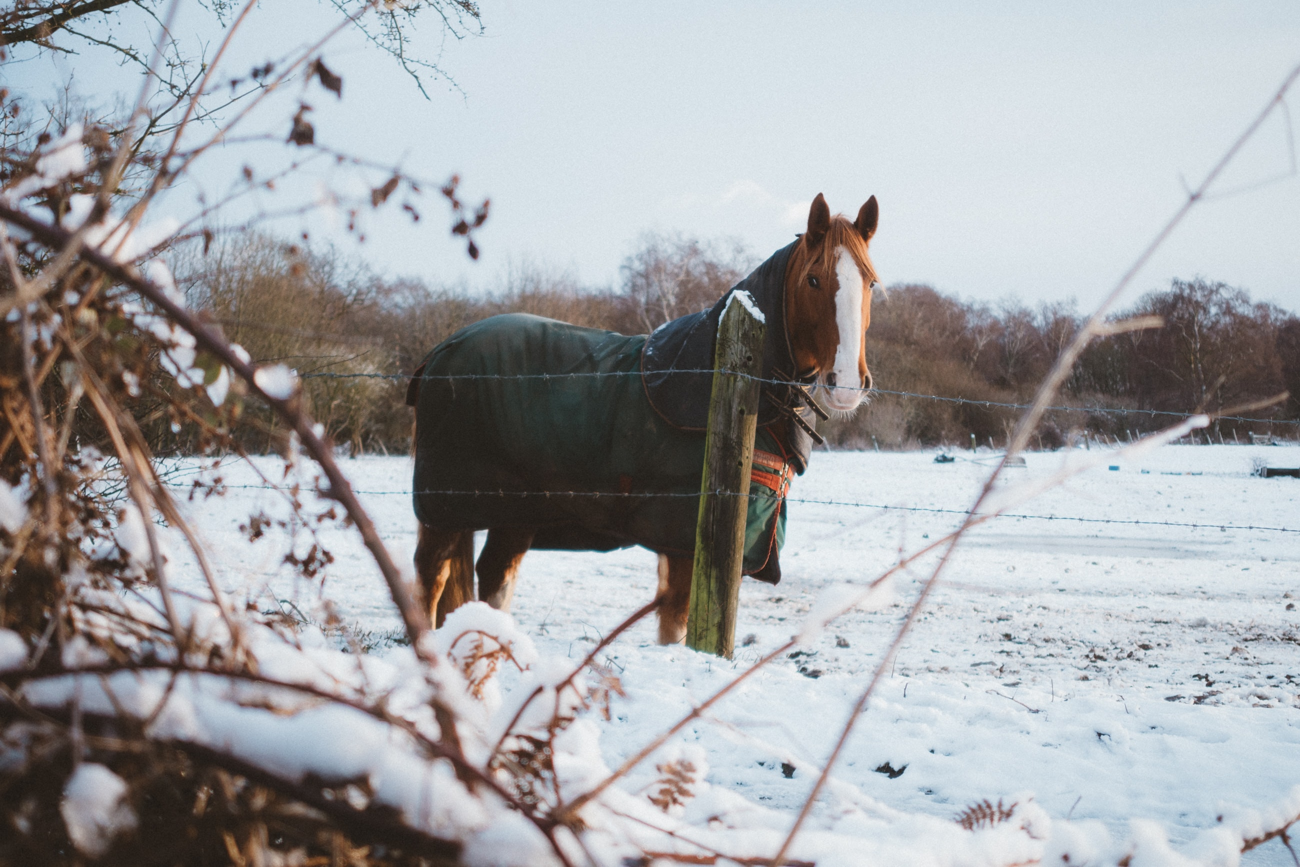 A chestnut horse with a white head marking draped in a green blanket in an enclosure with snow covering the ground