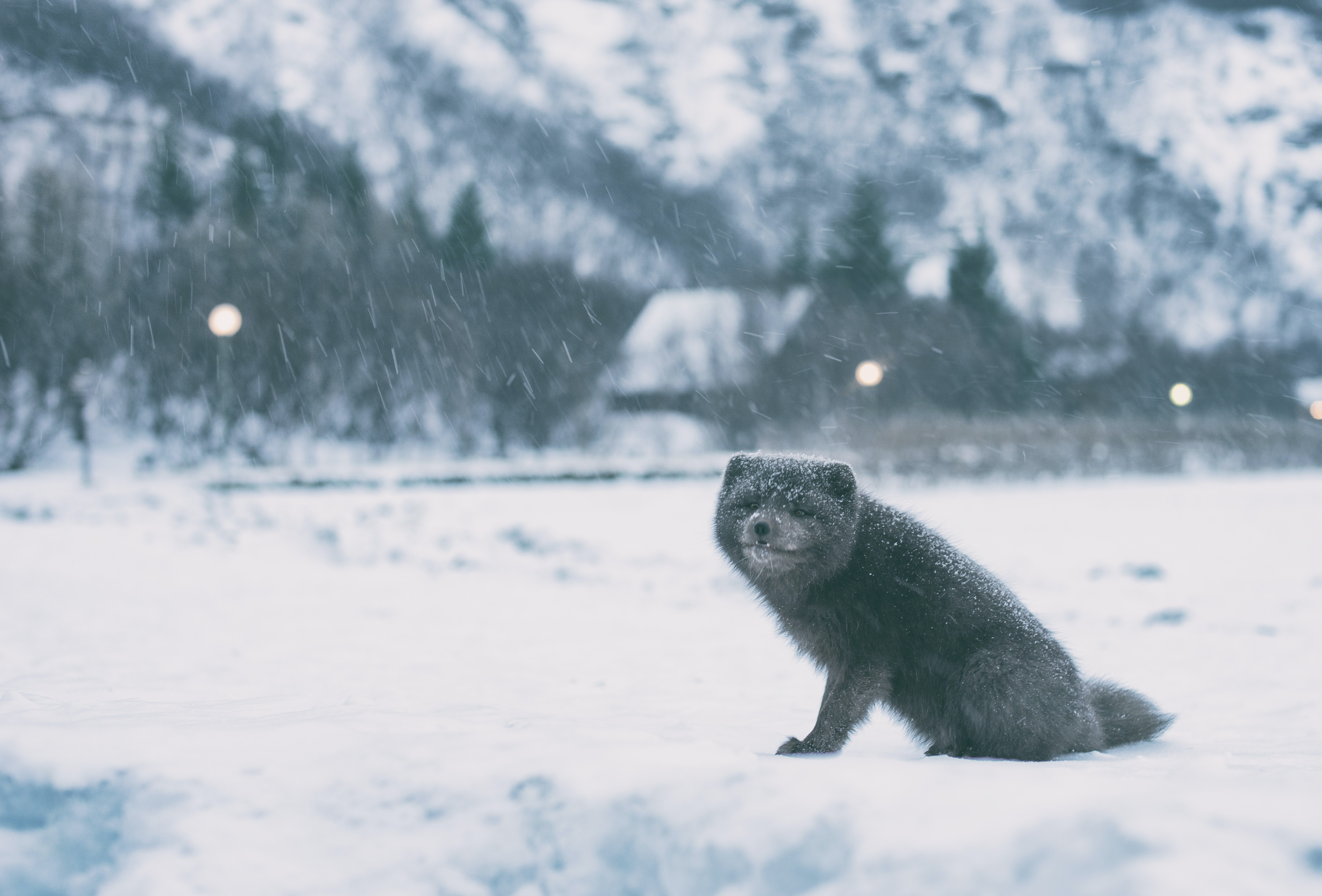 greyscale photography of raccoon on open field covered with snow during winter