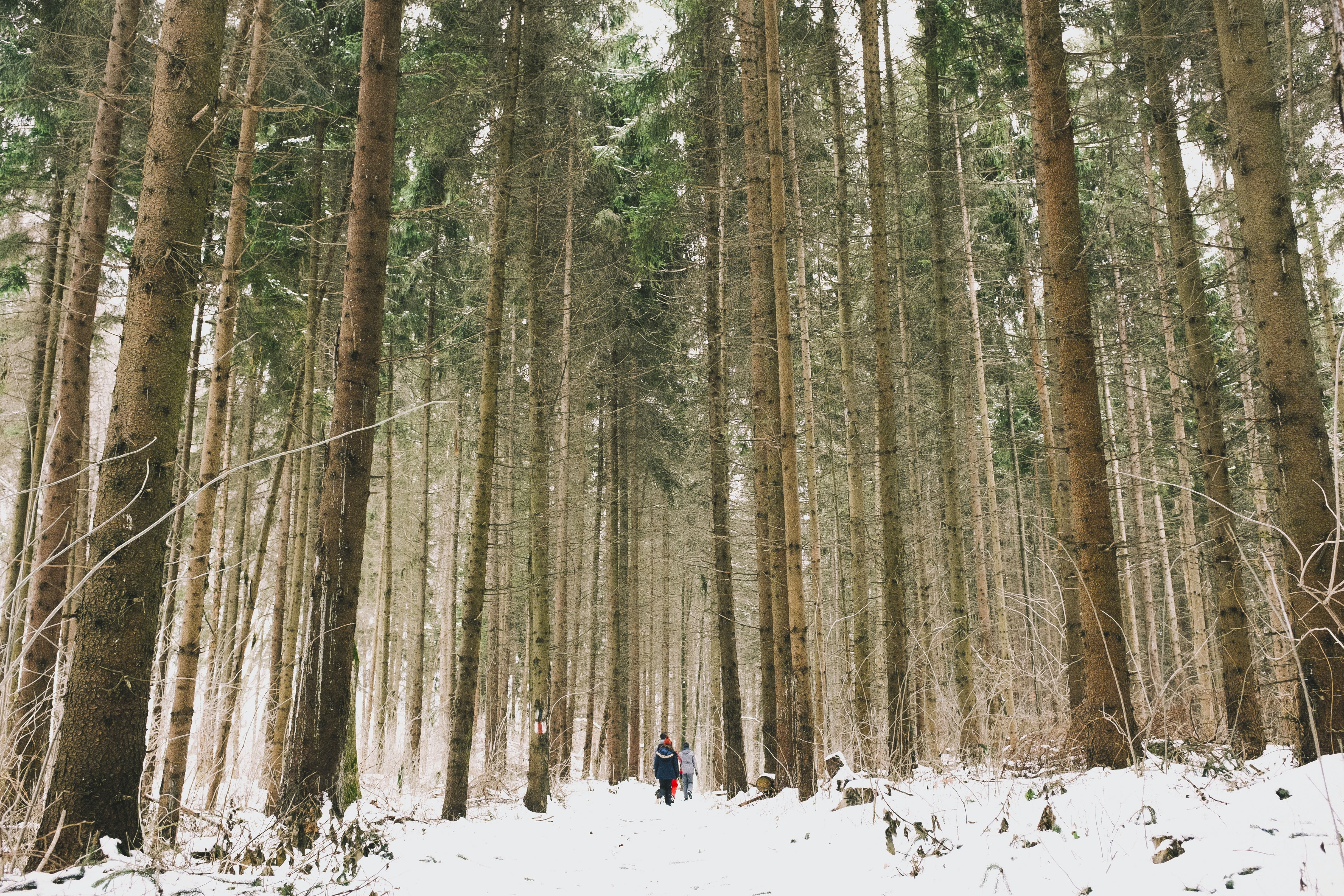 Several people on the snowy floor of a pine forest in Feleacu