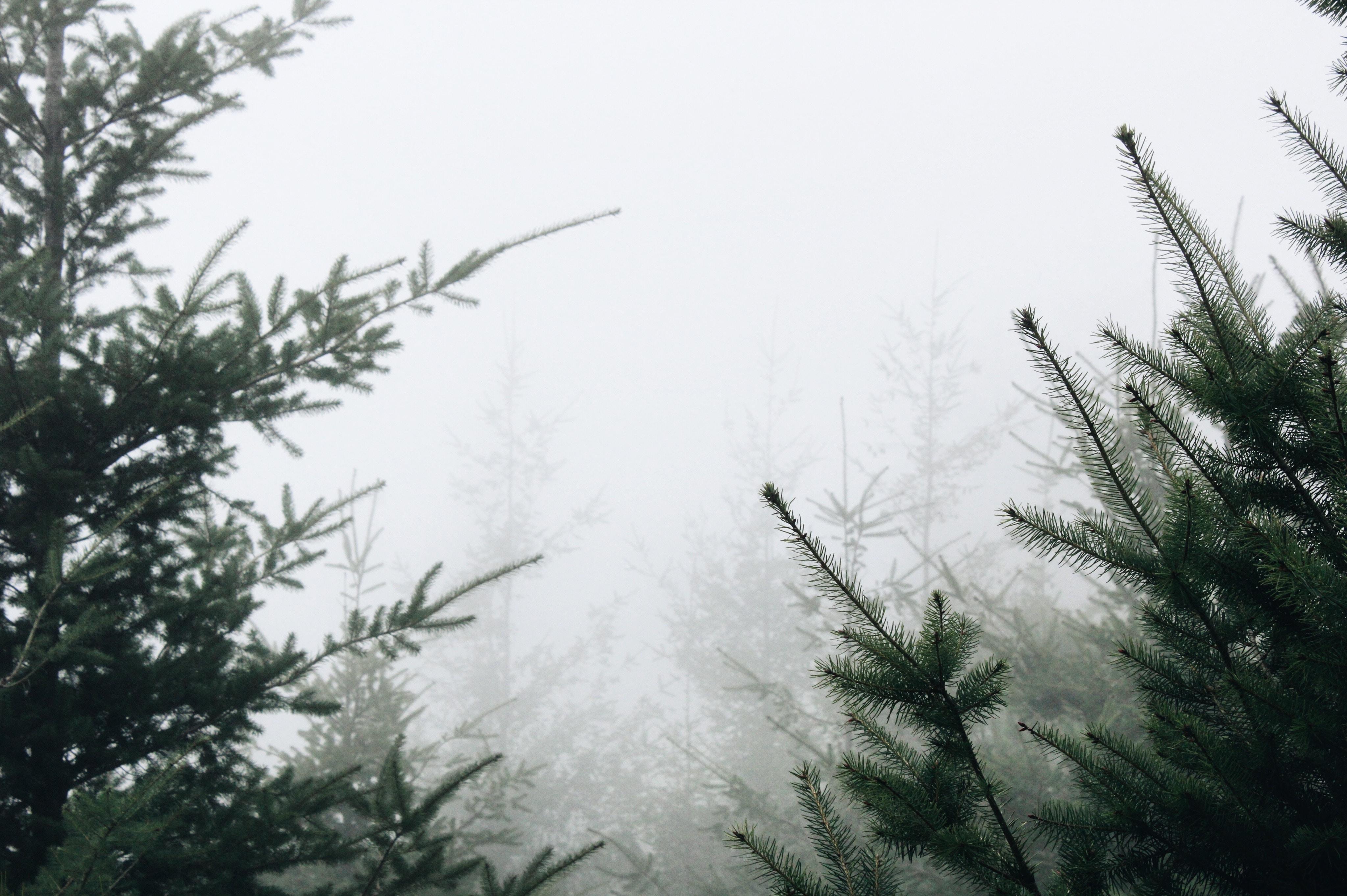 White mist around green conifer branches