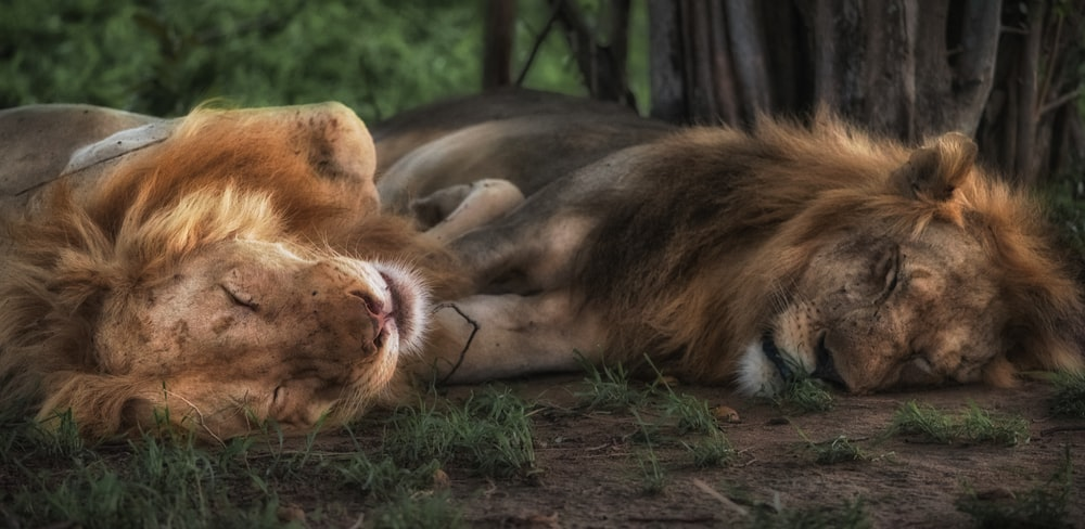 lion and lioness sleeping on green grass