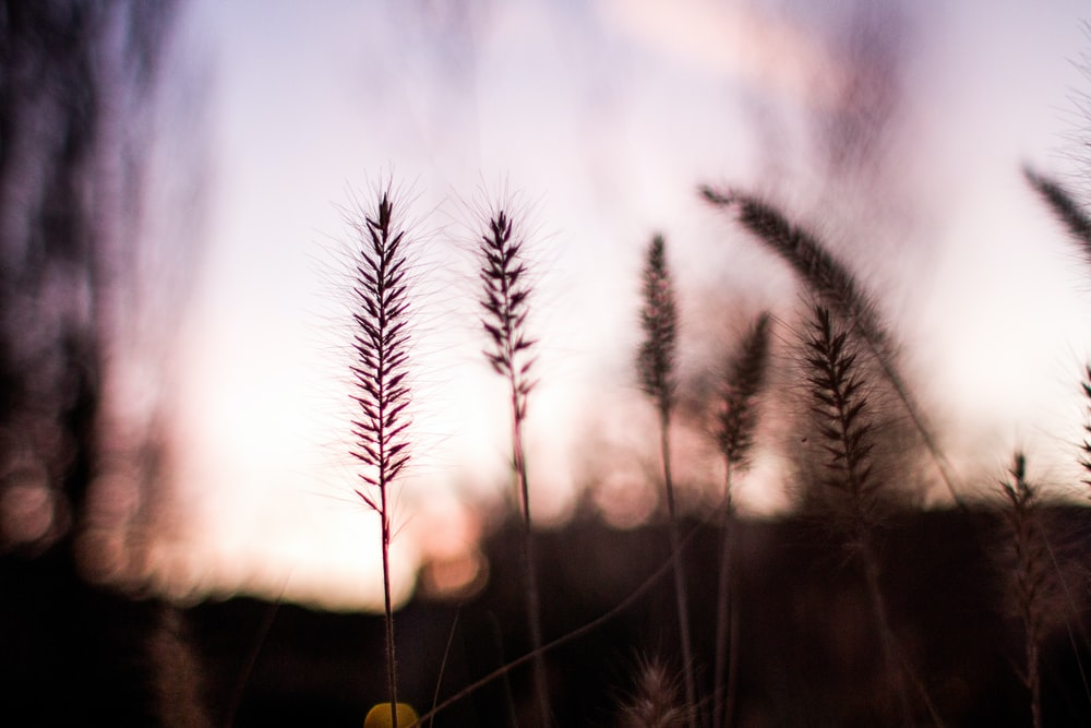 selective focus photography of silhouette of wheat at golden hour