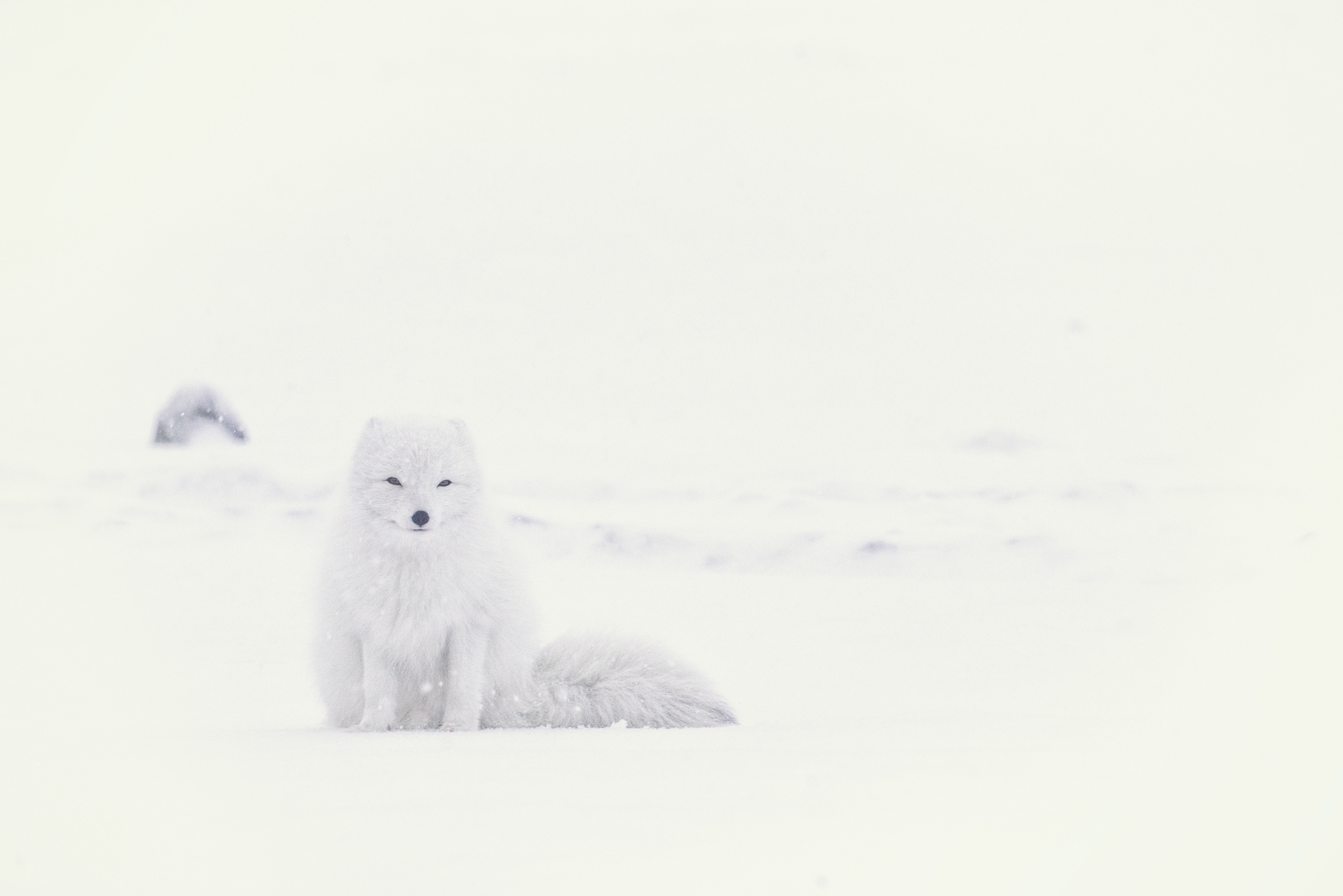 White arctic fox blends in with the snowy landscape