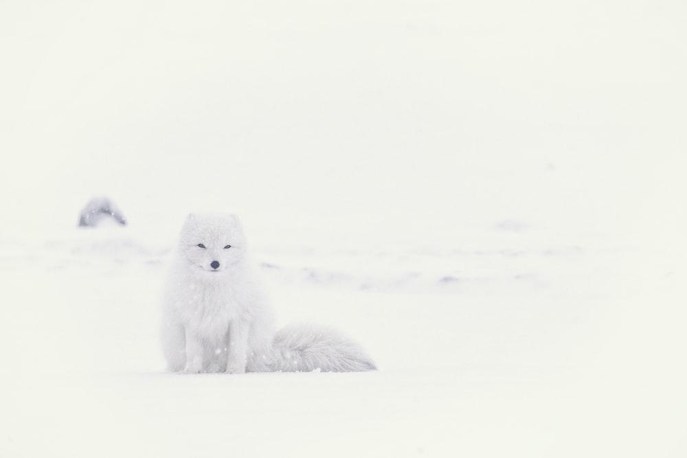 white husky on snowfield