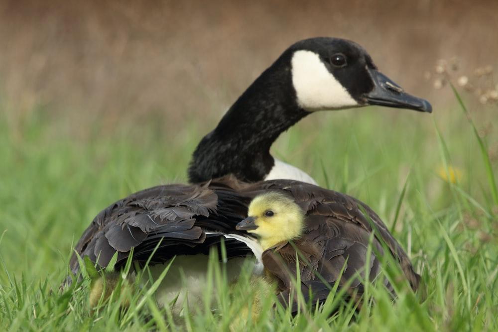 black duck beside duckling on grass
