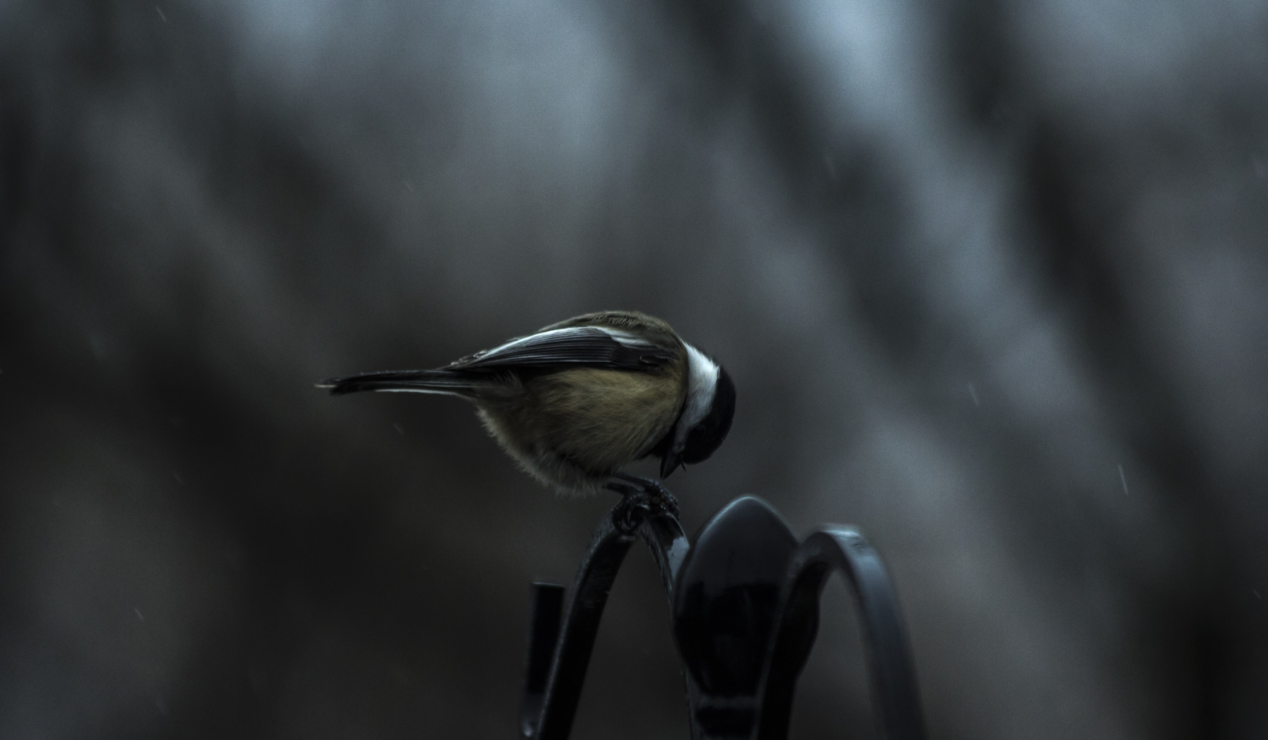 Small blue tit bird perched alone outside