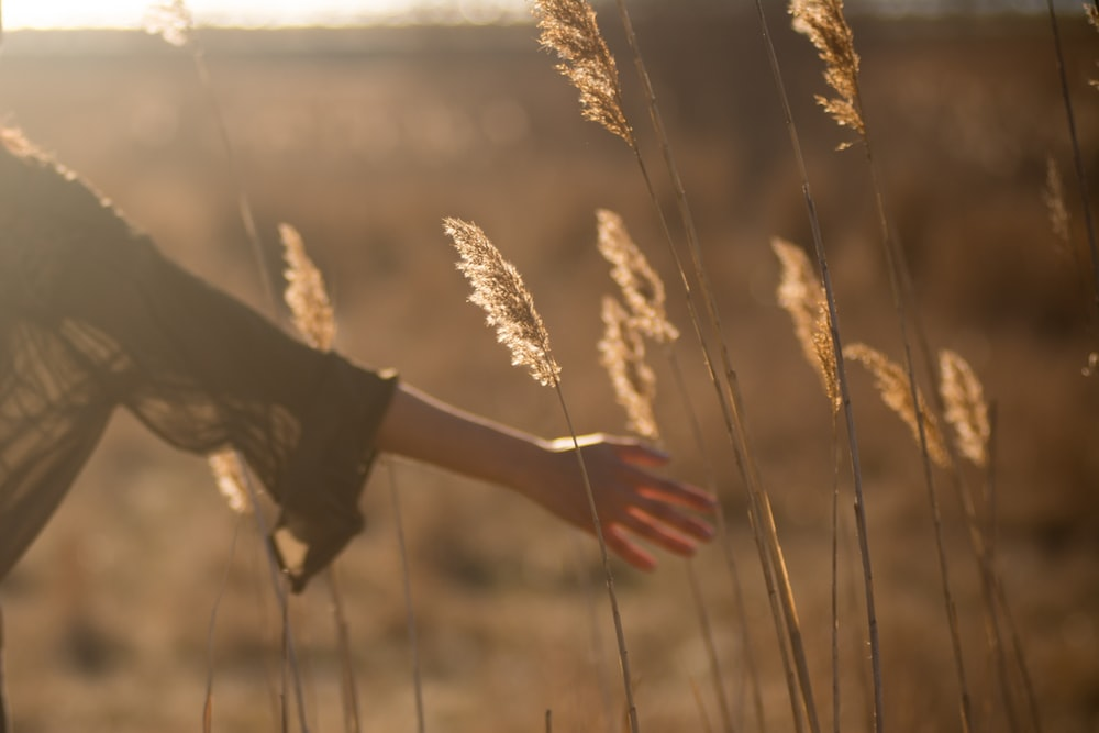 person holding tall grass during sunset