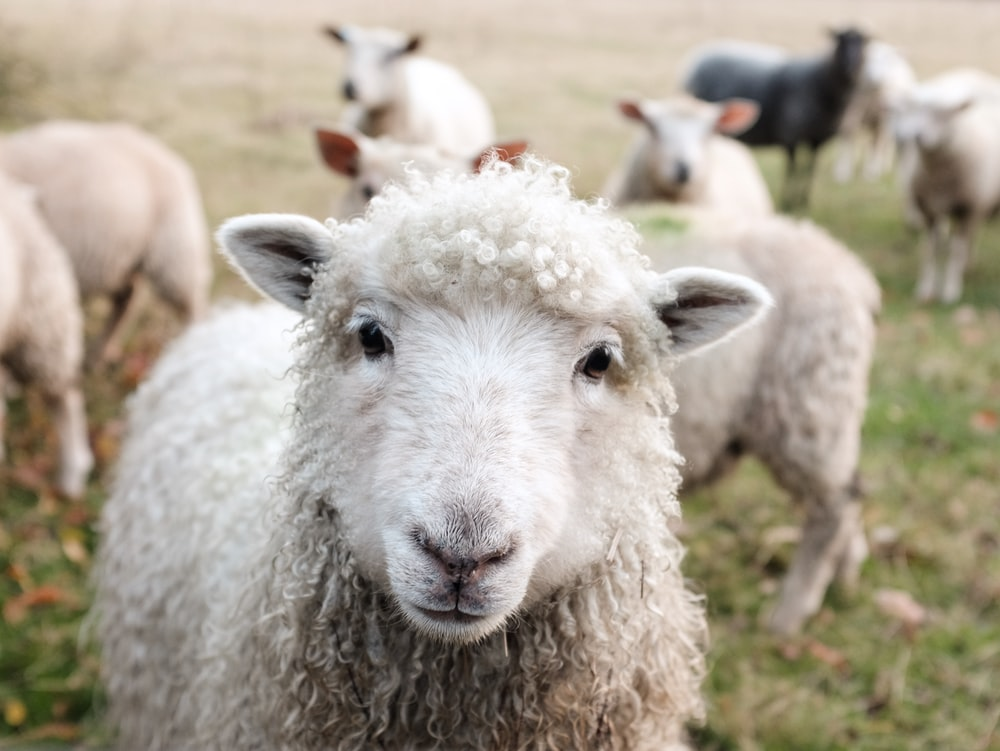 white sheep on green grass during daytime