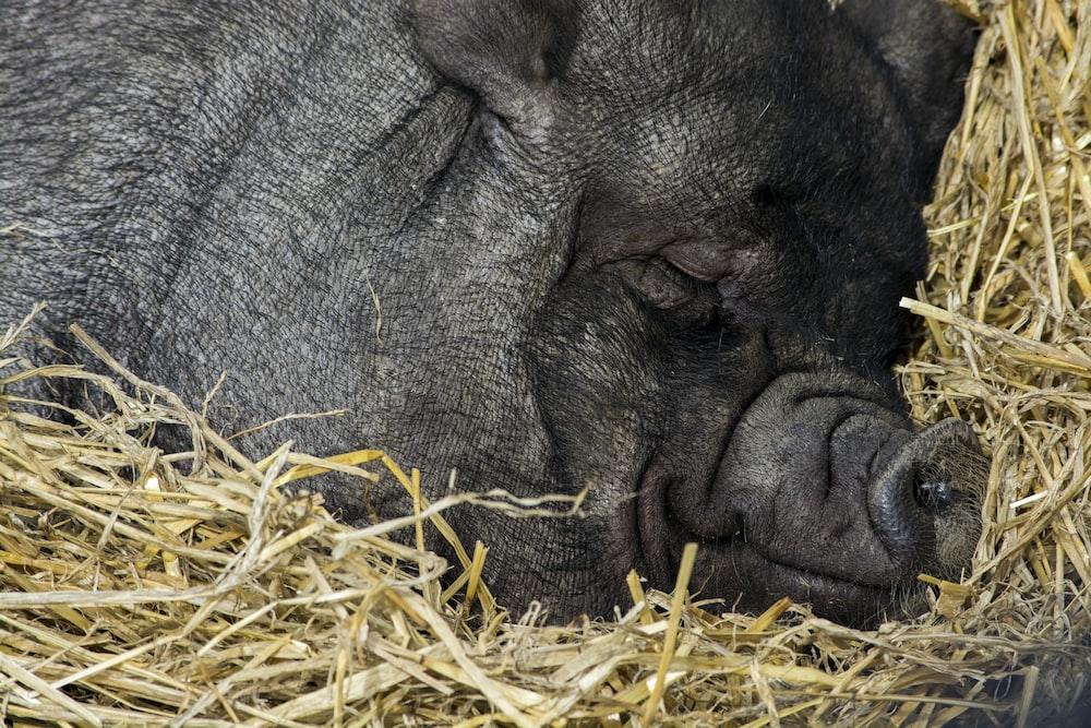close up photography of black pig sleeping