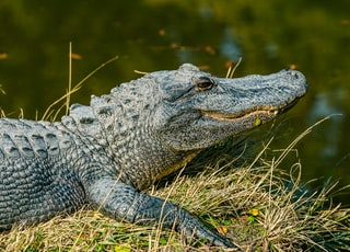 gray crocodile near body of water during daytime