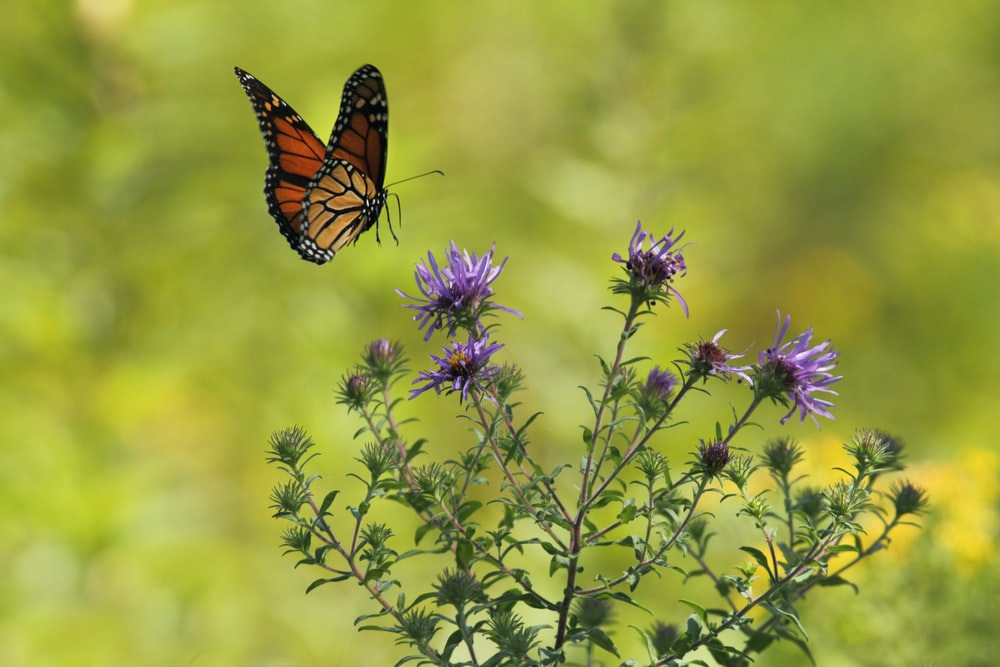 selective focus photography of brown and black butterfly flying near blooming purple petaled flowers