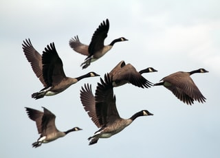 gray-and-black mallard ducks flying during day time