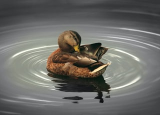 brown mallard duck illustration