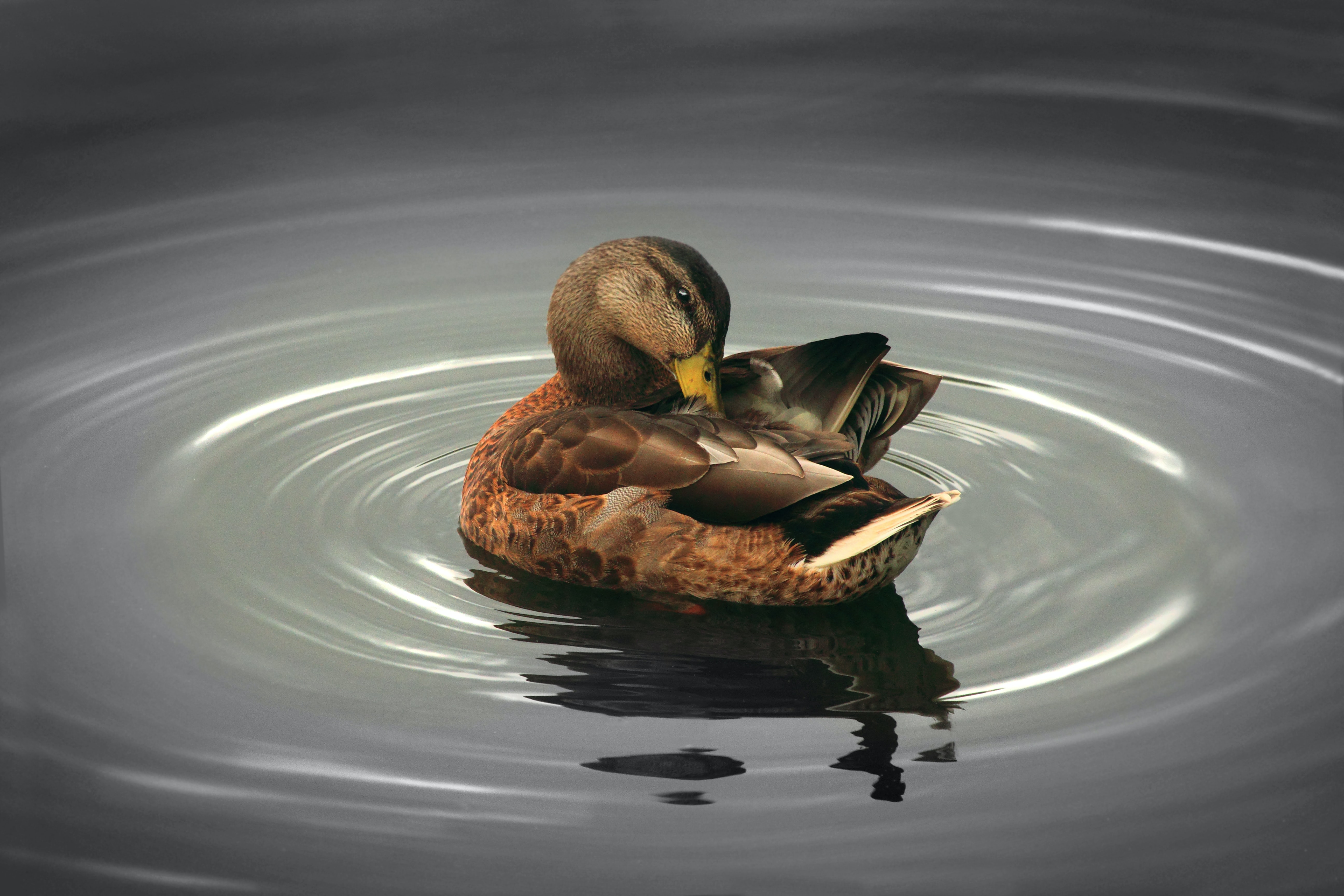A duck picking at its wing while causing a ripple in the pond