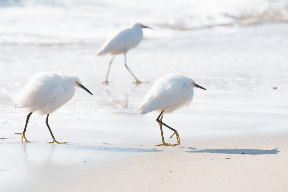 three white birds walking on white sand on seashore during daytime