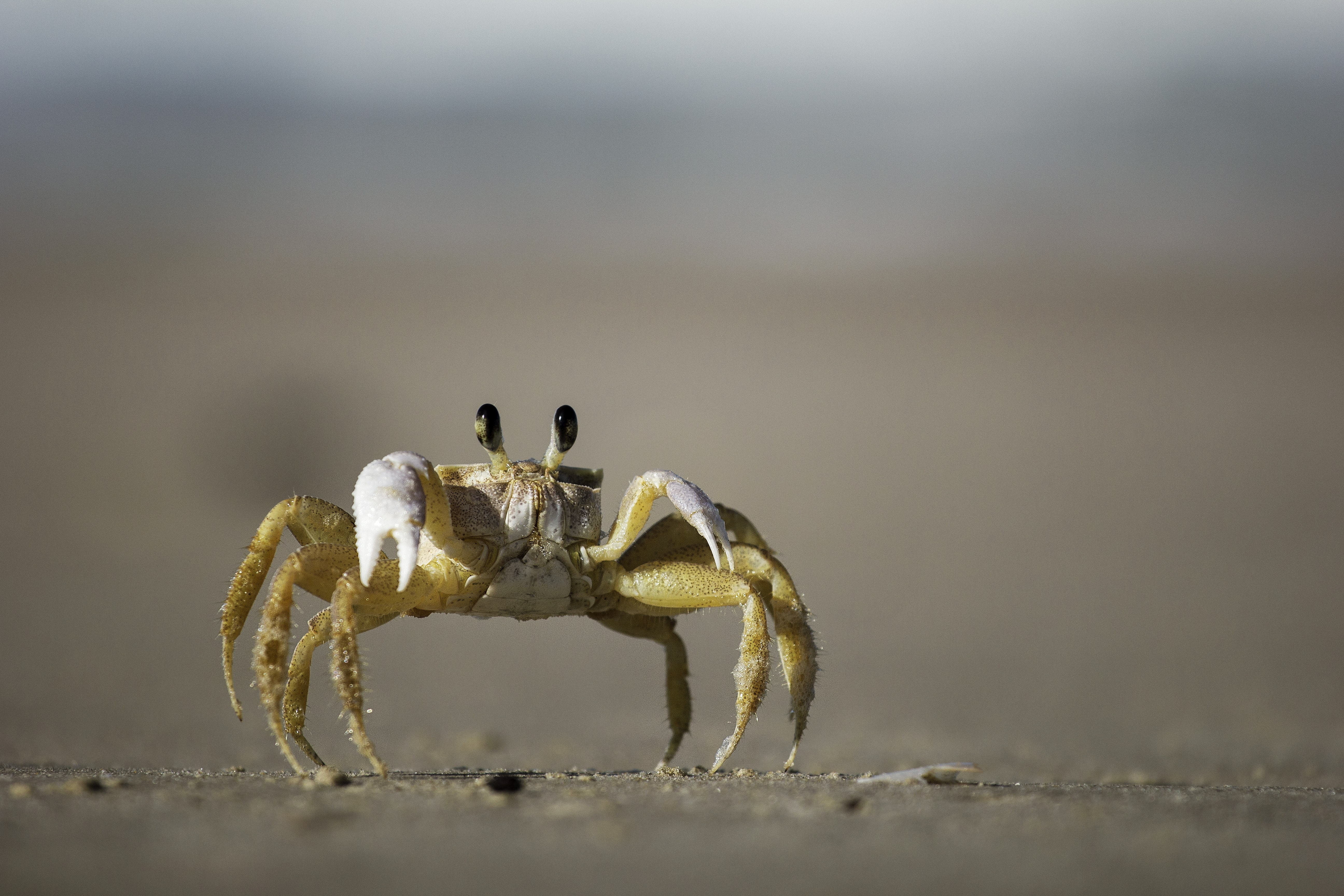 Macro shot of a fiddler crab on a sand beach at Barra da Lagoa