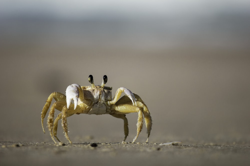 brown and white crab photography
