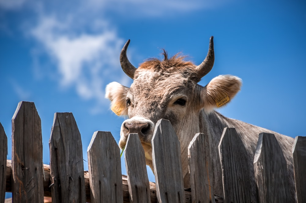 cattle behind fence