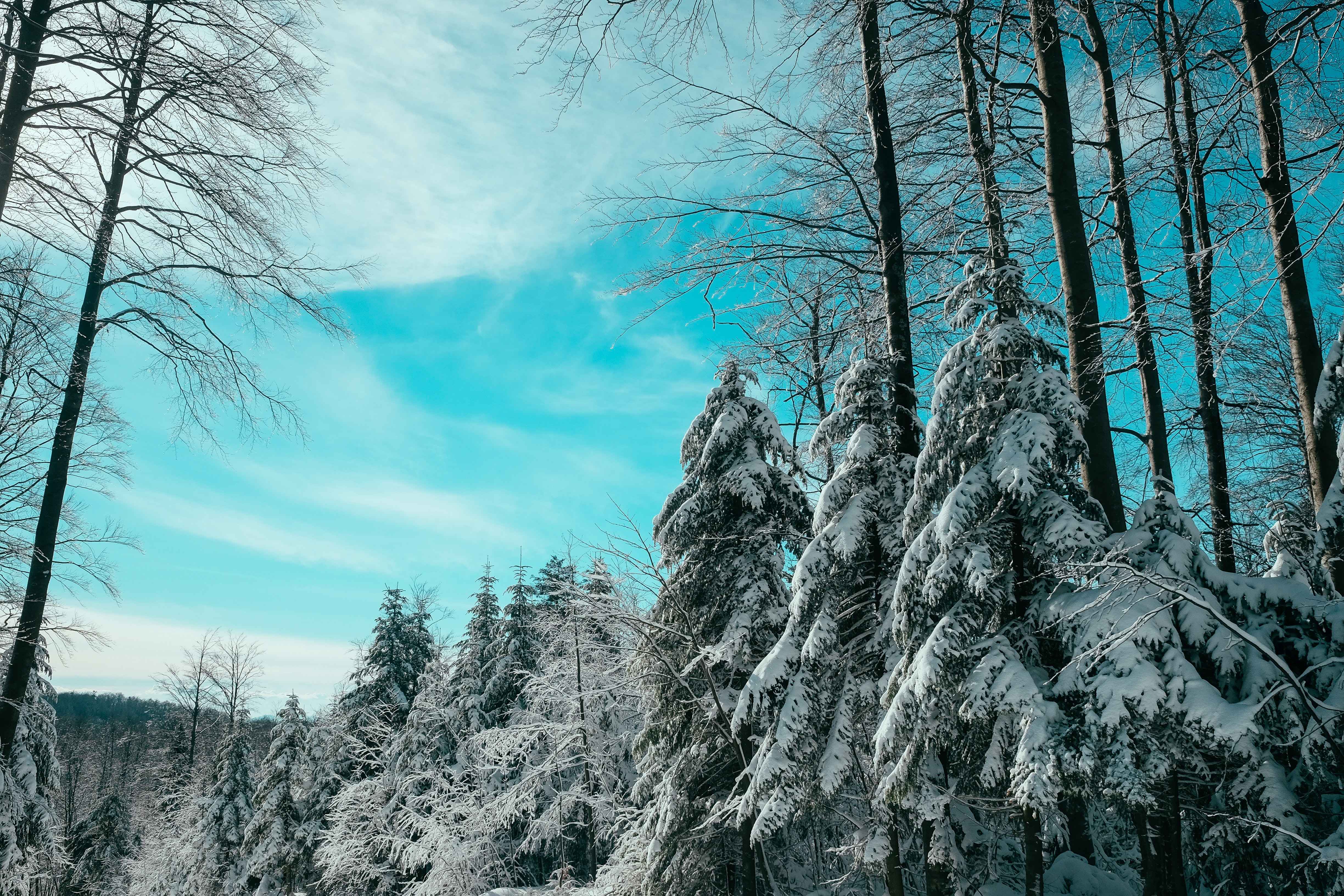 A ground view shot of a pine forest covered in snow on a blue sky day in Platak, Croatia