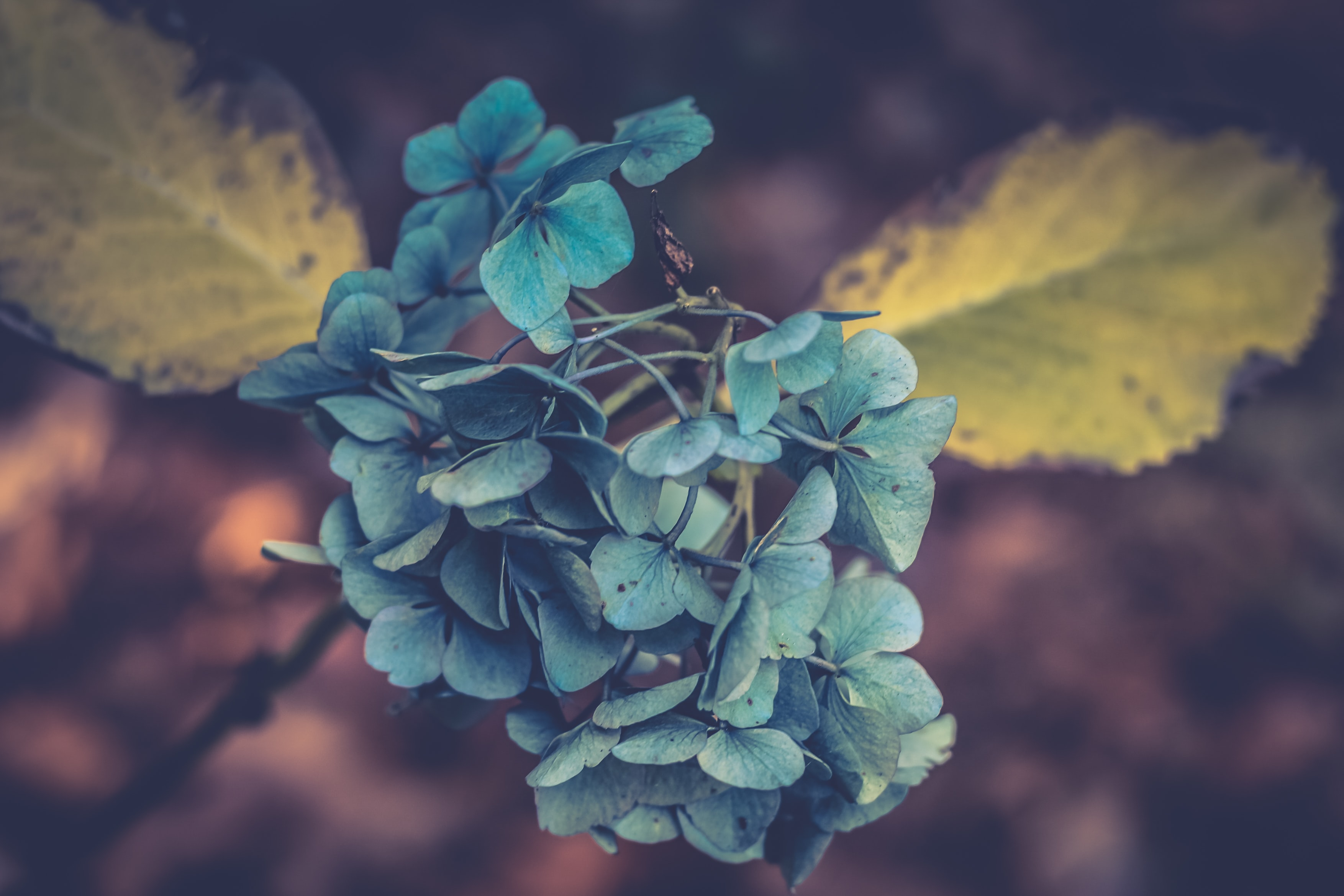 Close-up of a cluster of hydrangea flowers with wilting leaves