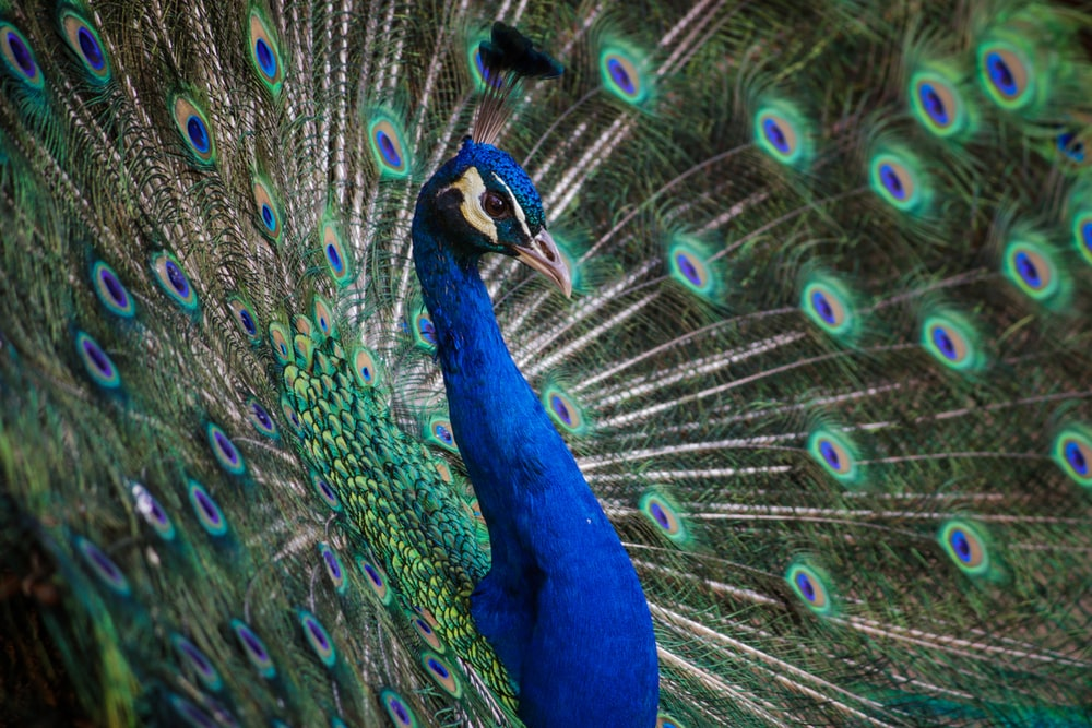 close up photography of peacock