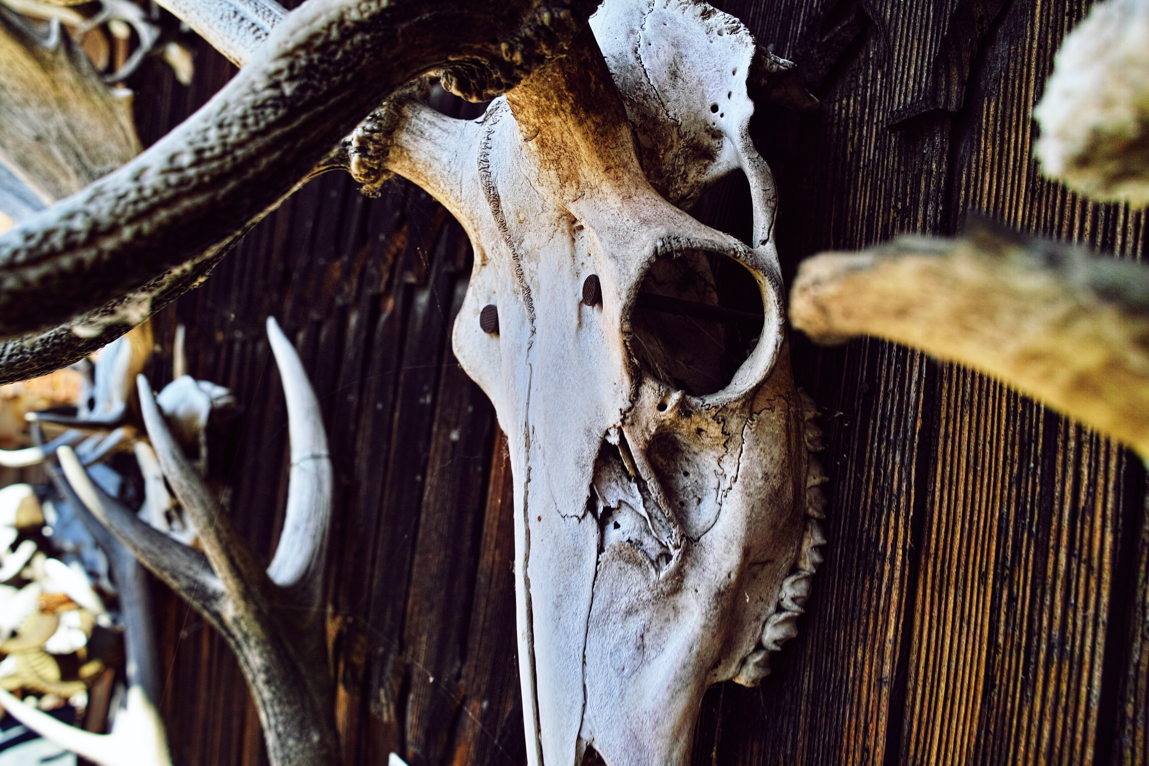 An animal skull with long antlers hanging on a wooden wall