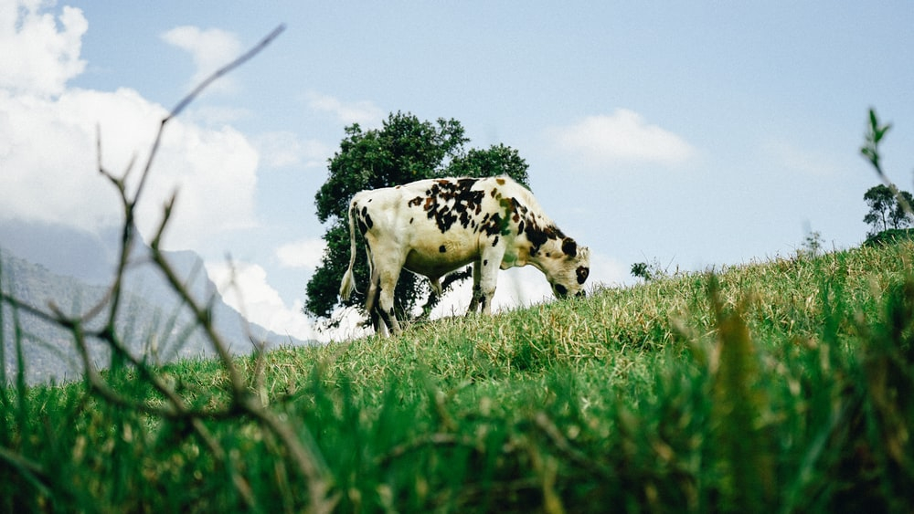 white and black cow standing on green grass field during daytime