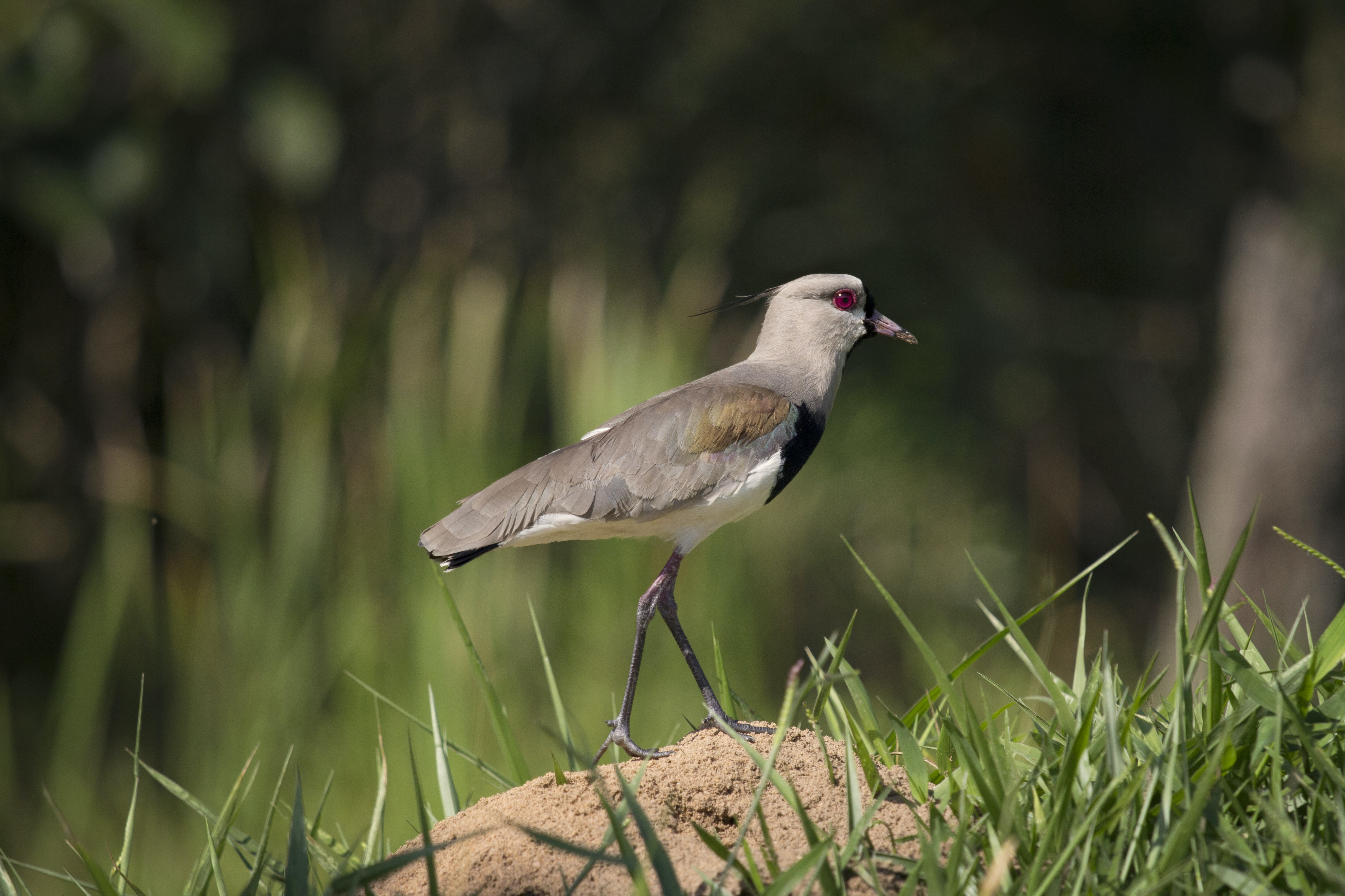 Bird with red eye sitting on a mound of dir on grass