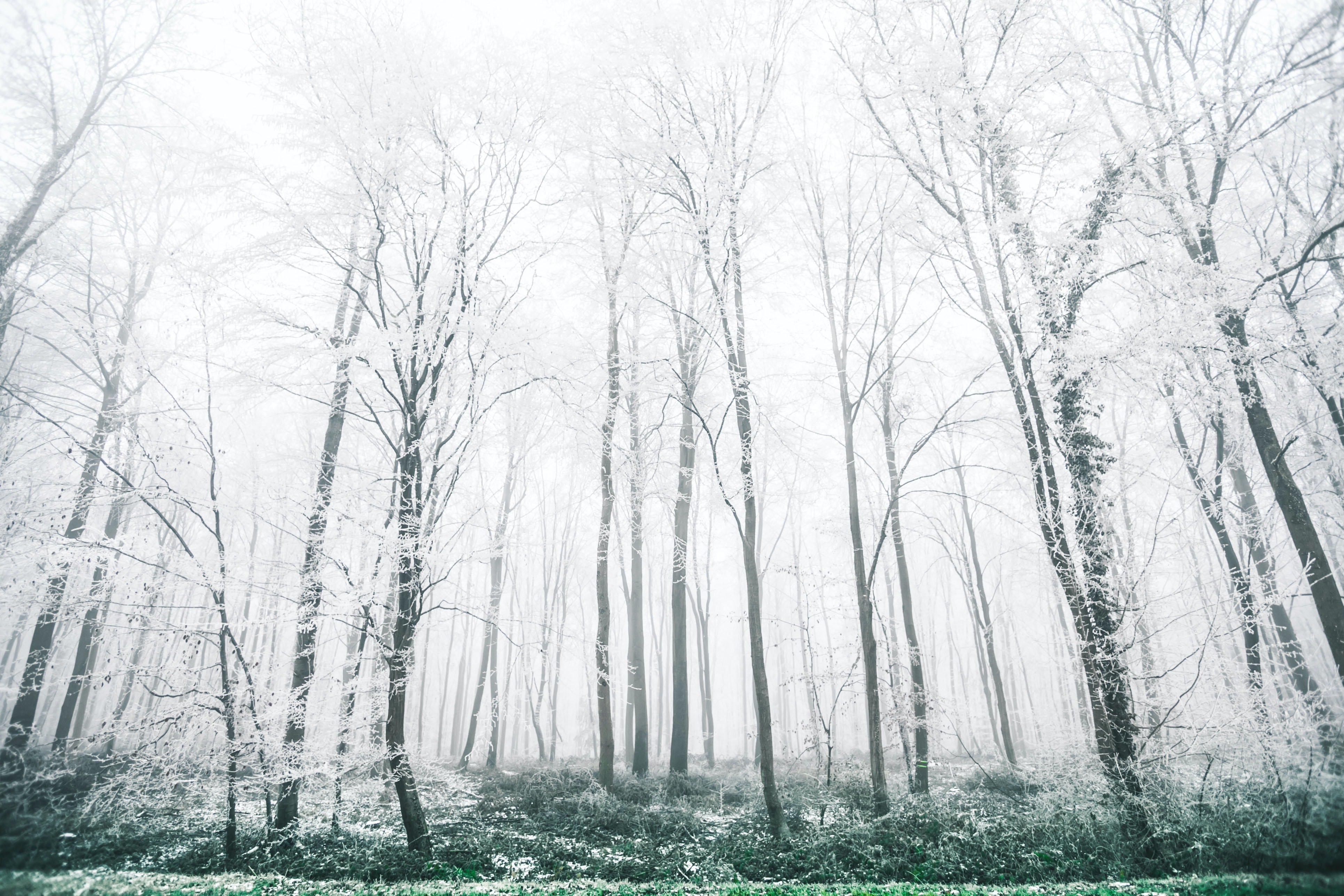 A view of forest trees covered in snow, with white fog throughout the area
