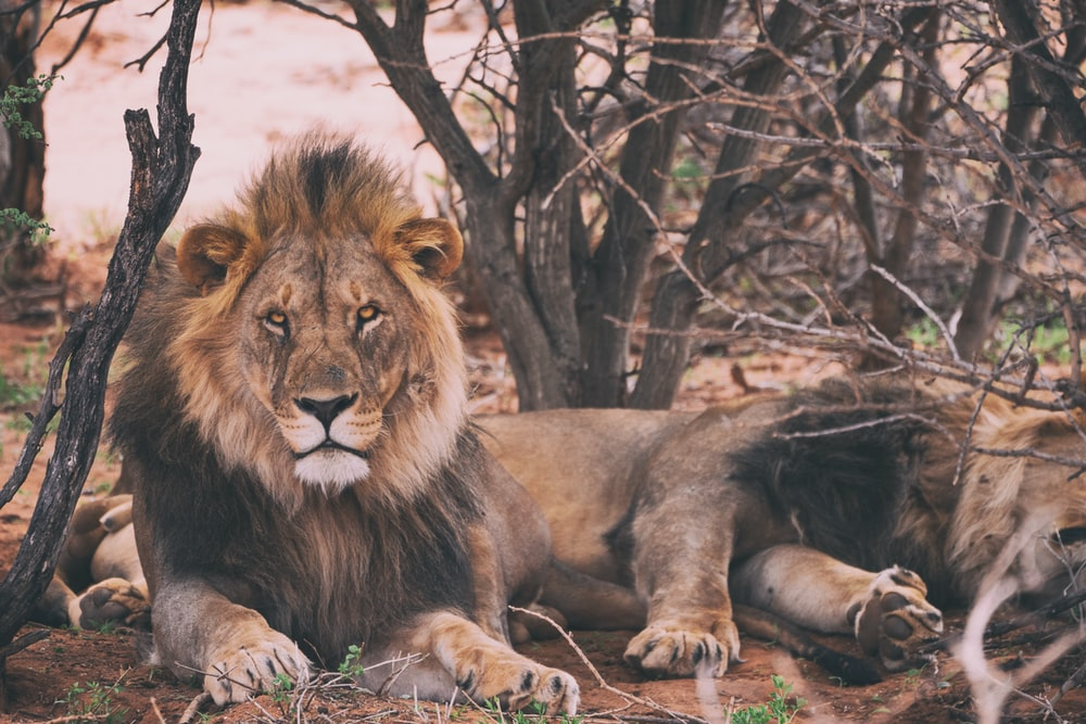500 African Lion Pictures Download Free Images On Unsplash